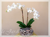 Double Stem Imperial Orchid Plant in a Le Jardin Handmade Planter